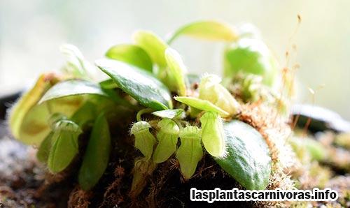 alimentacion cephalotus propagacion