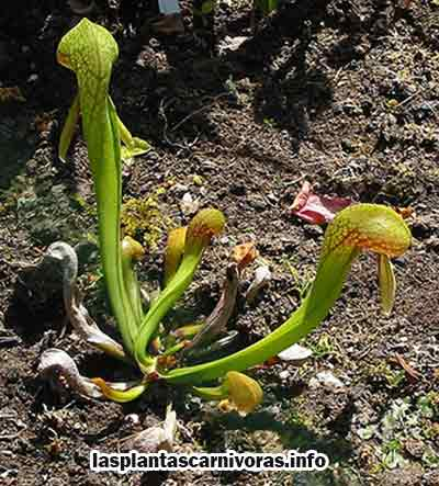 darlingtonia californica habitat