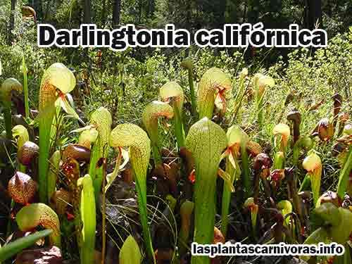 darlingtonia californica caracteristicas