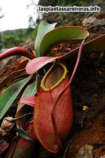 planta carnivora nepenthes cuidados