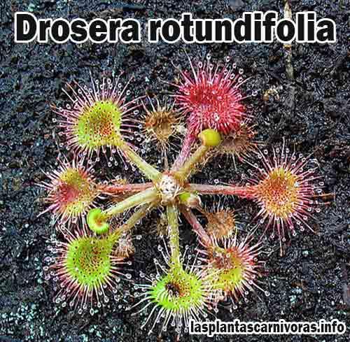 caractertisticas drosera rotundifolia planta carnivora