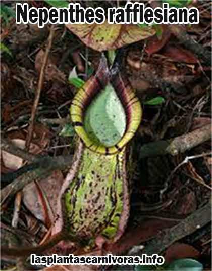 planta nepenthes rafflesiana habitat