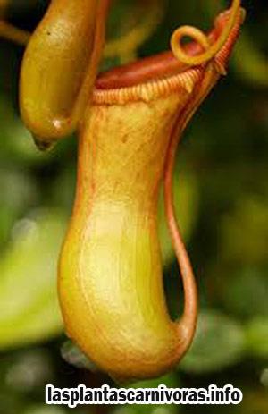 reproduccion de la nepenthes ventricosa propagacion