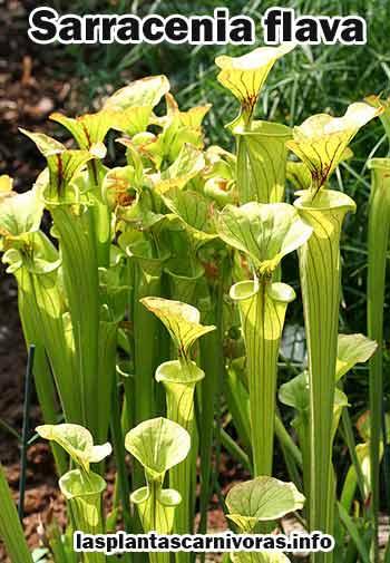 planta carnivora sarracenia flava cuidados