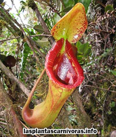 nepenthes lowii x macrophylla