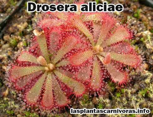 drosera aliciae planta