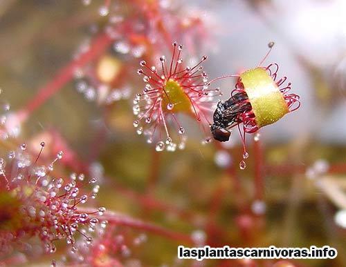 drosera anglica planta