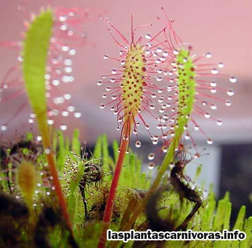drosera anglica flores