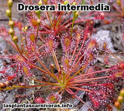 drosera intermedia habitat