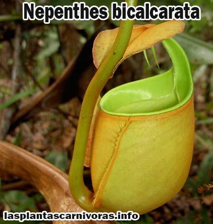 nepenthes bicalcarata planta carnivora