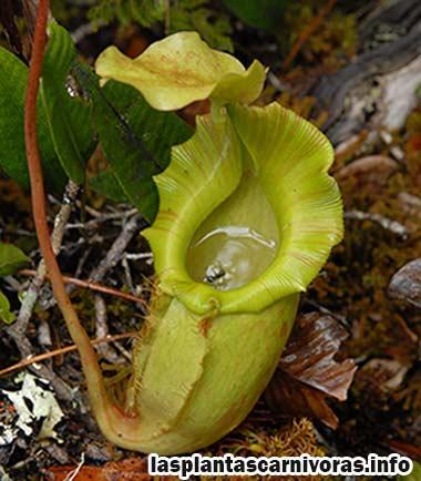 nepenthes maxima reproduccion