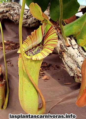 nepenthes truncata hojas