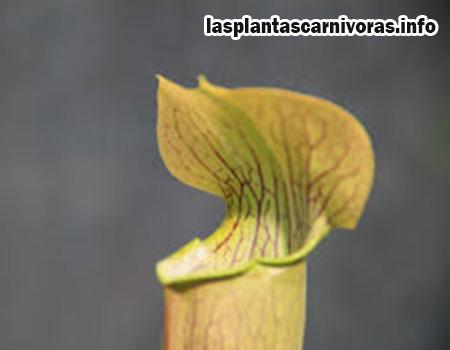 cuidados de la sarracenia alata flor
