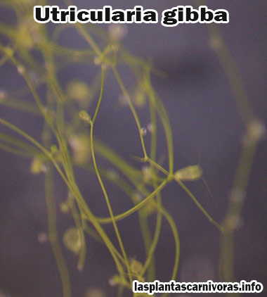 planta utricularia gibba habitat