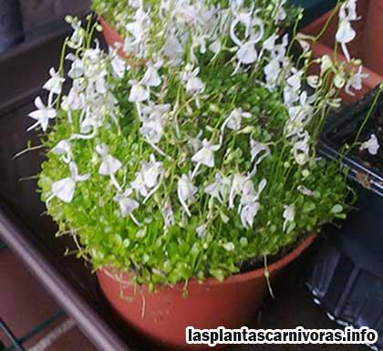 planta carnivora utricularia sandersonii cultivo