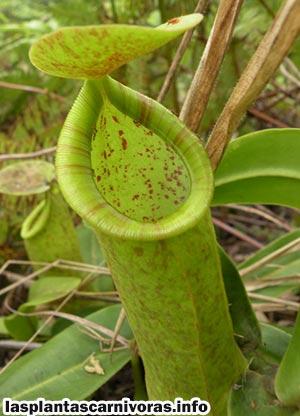 nepenthes sanguinea insectivora