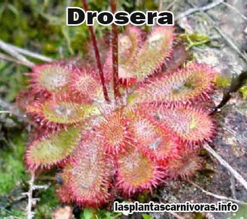 plantes droseras carnivores