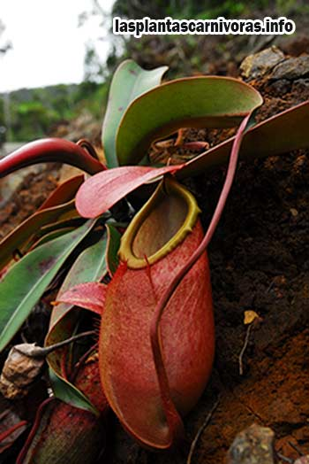 carnivora plante nepenthes soigne