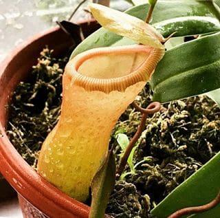 fleischfressende pflanzen kannenpflanze