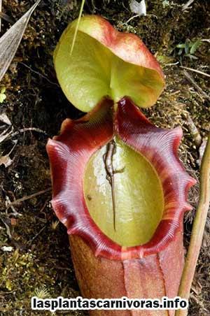 Reproduction de Nepenthes Rajah