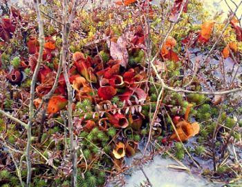 planta carnivora utricularia especies