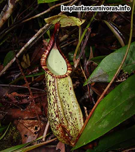 les plante carnivore nepenthes reproduction