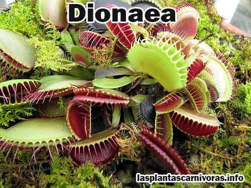 les plante carnivore dionaea