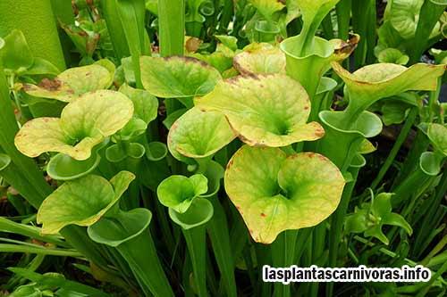 Arten von fleischfressenden Pflanzen Sarracenia