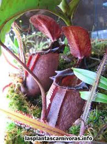 nepenthes rajah pflanze