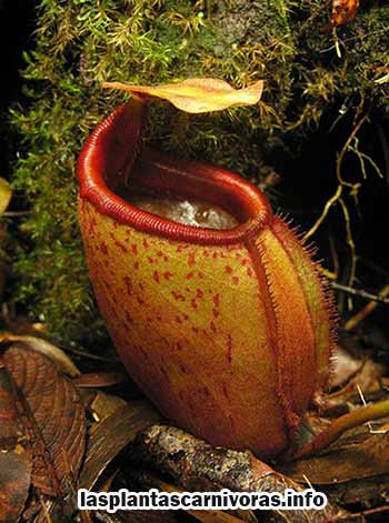 Nepenthes Rajah Funktionen
