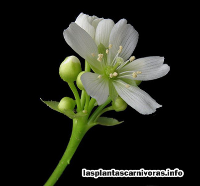 fleischfressende Pflanze dionaea