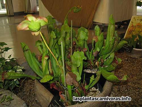 Hybriden der Sarracenia insectivora Pflanze