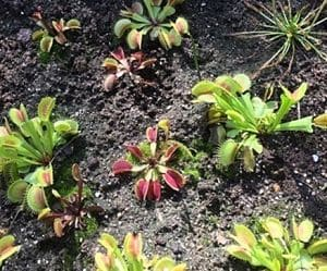 insect eating plants